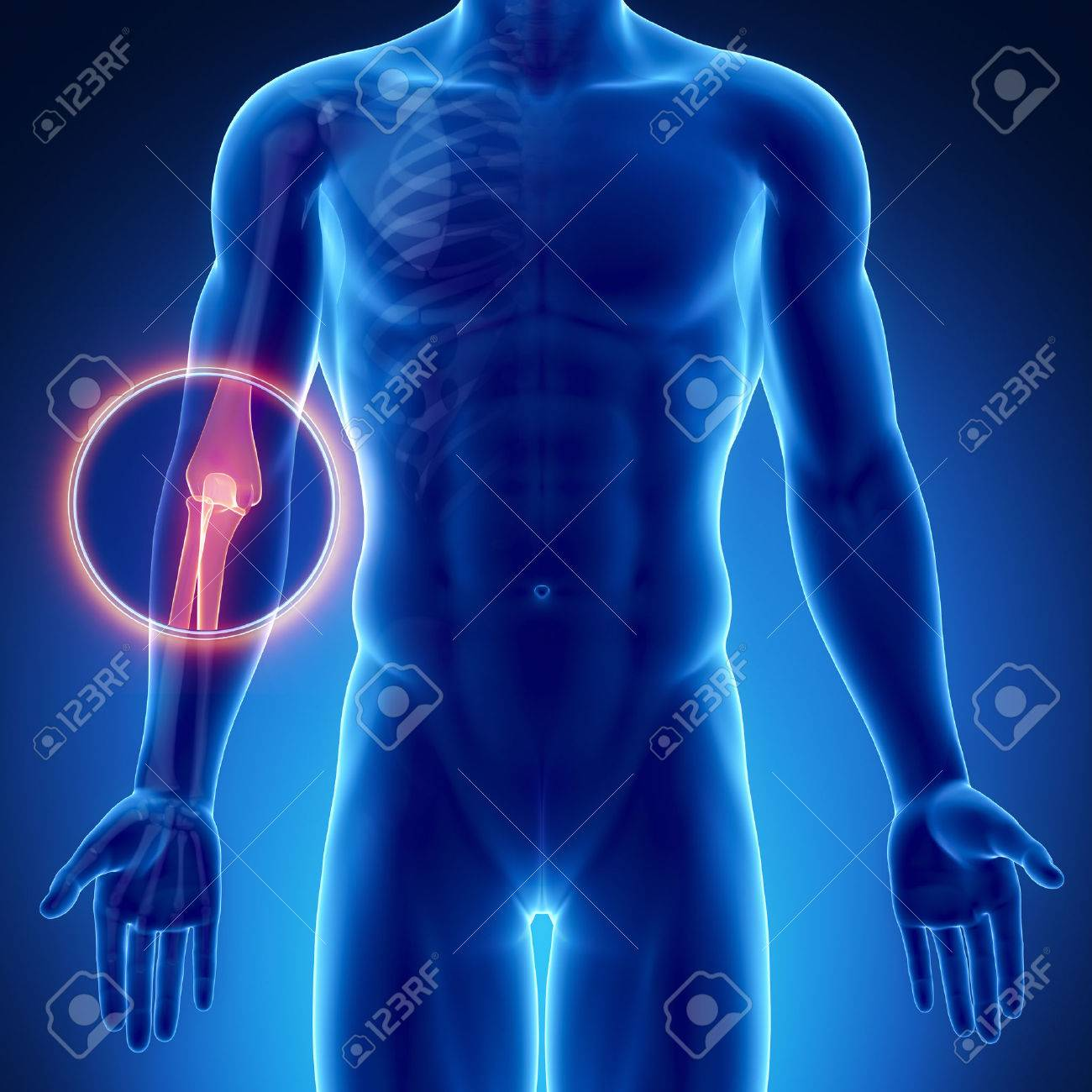 Male Bone Anatomy Elbow Stock Photo Picture And Royalty Free Image