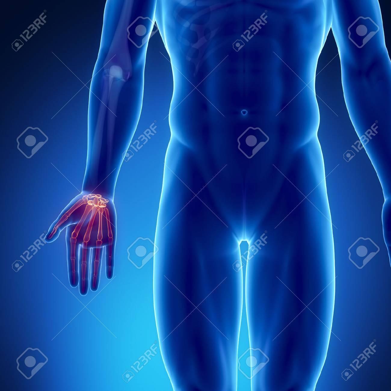 Männlich Knochenanatomie Handgelenk Hand Lizenzfreie Fotos, Bilder ...