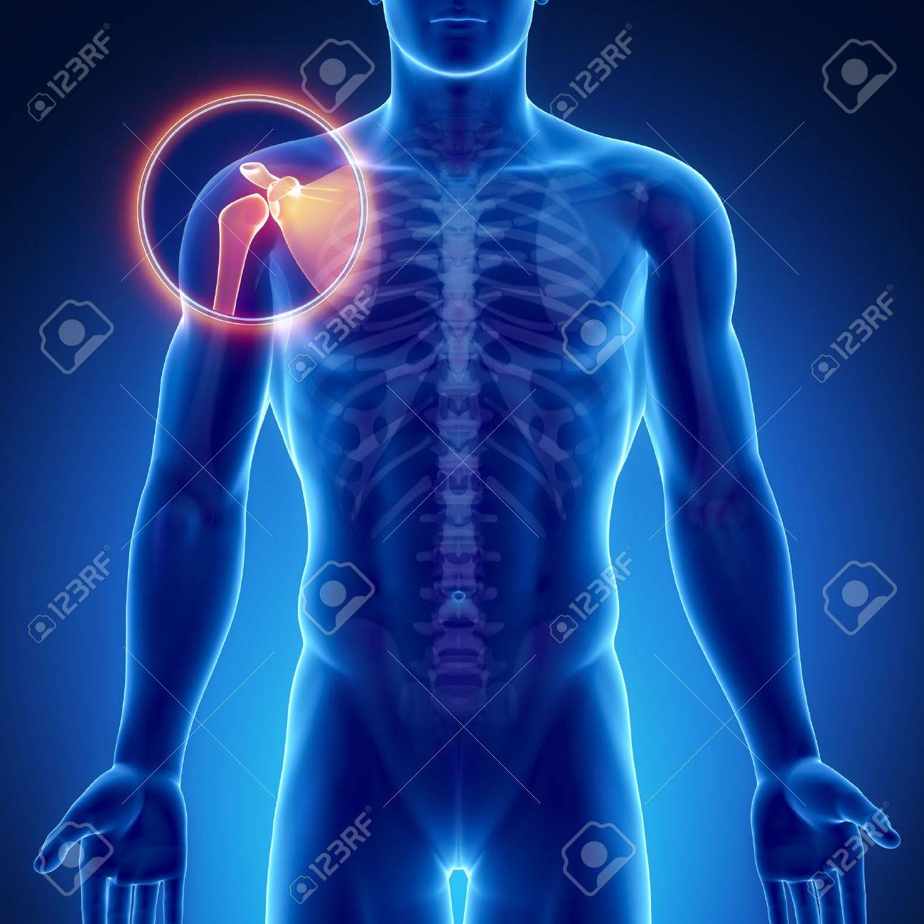 Male Bone Anatomy Shoulder Joint Stock Photo Picture And Royalty