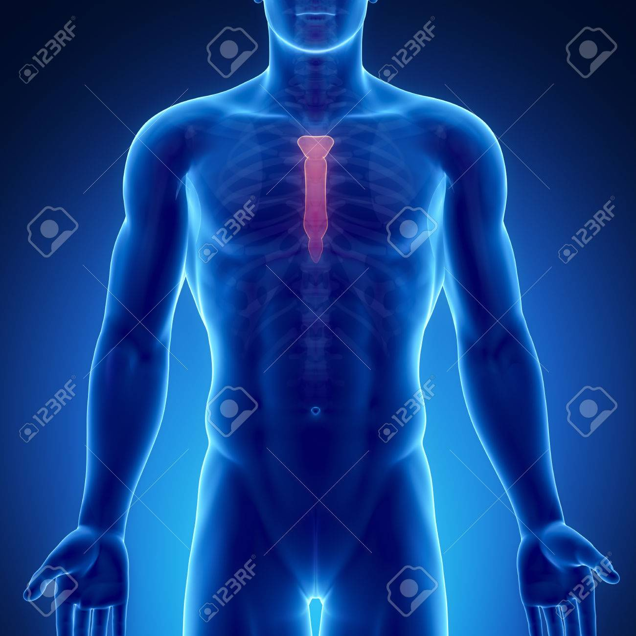 Male Bone Anatomy Sternum Stock Photo Picture And Royalty Free