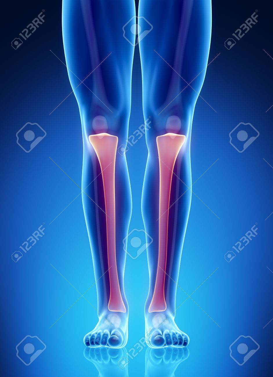 Male Bone Anatomy Tibia Stock Photo, Picture And Royalty Free Image ...