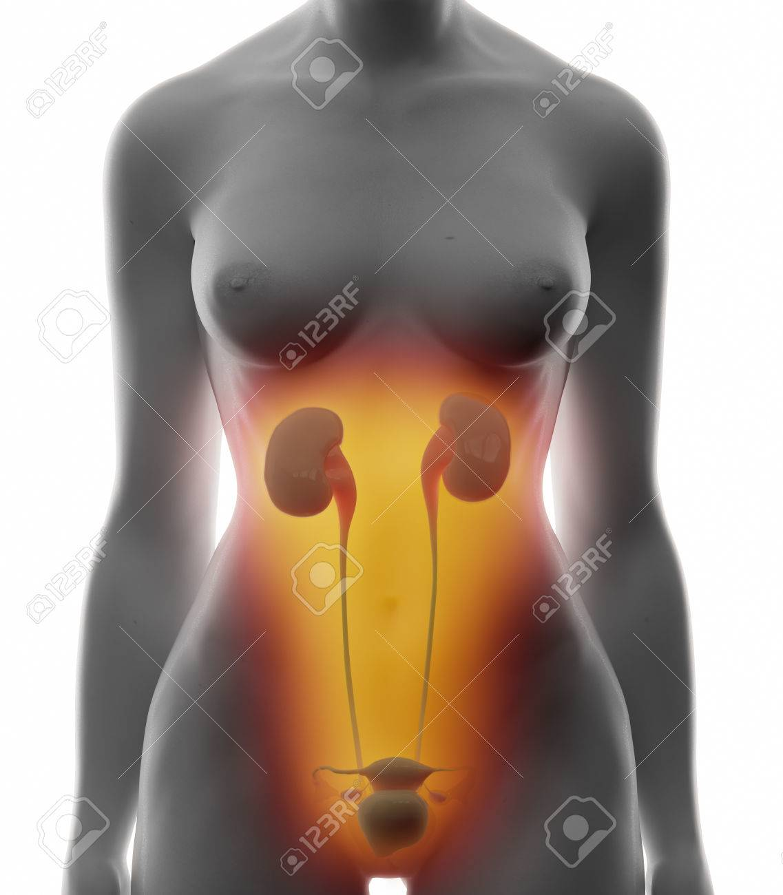 Urinary System - Real View Female Anatomy Concept Stock Photo ...