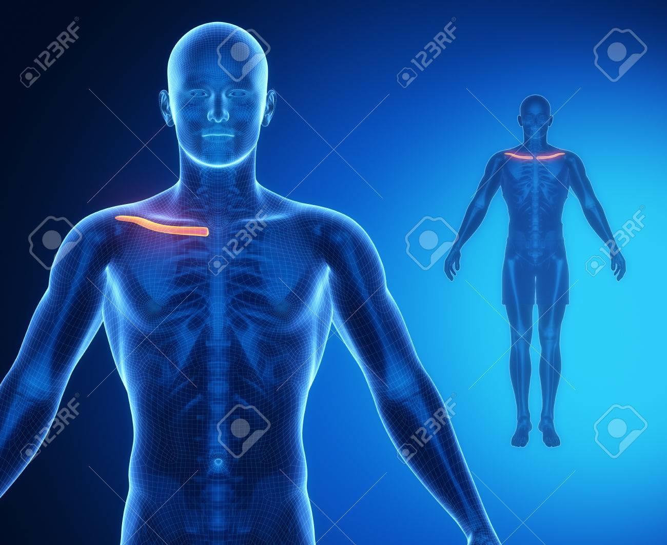 Schlüsselbein Anatomie X-ray-Scan Lizenzfreie Fotos, Bilder Und ...
