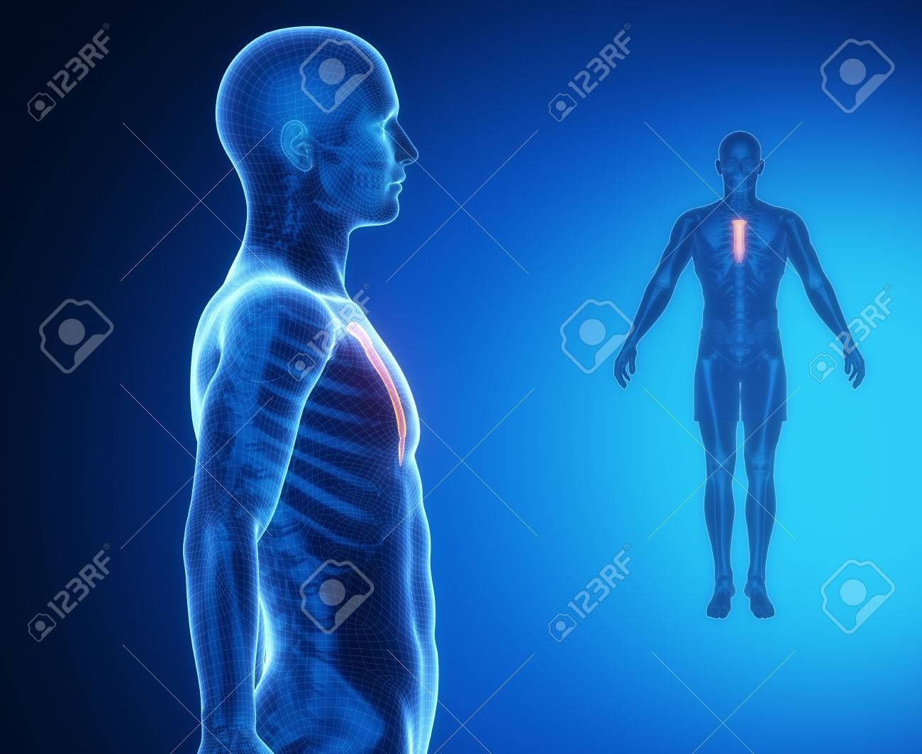 Sternum Bone Anatomy X Ray Scan Stock Photo Picture And Royalty