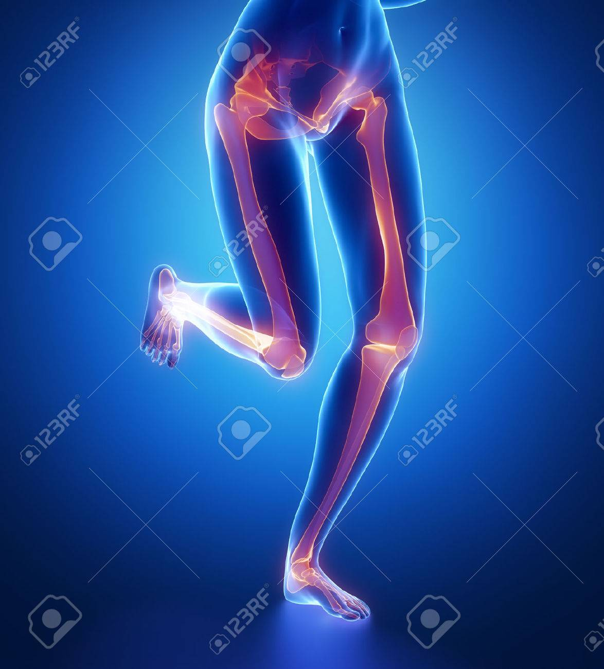 Focused On Leg Bones Anatomy Stock Photo Picture And Royalty Free