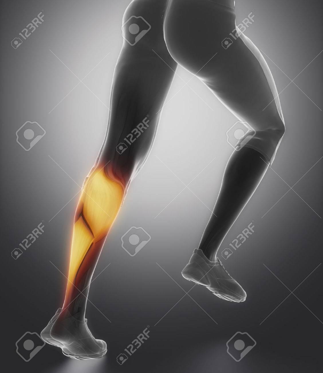 Anatomía Terneros Muscular Fotos, Retratos, Imágenes Y Fotografía De ...