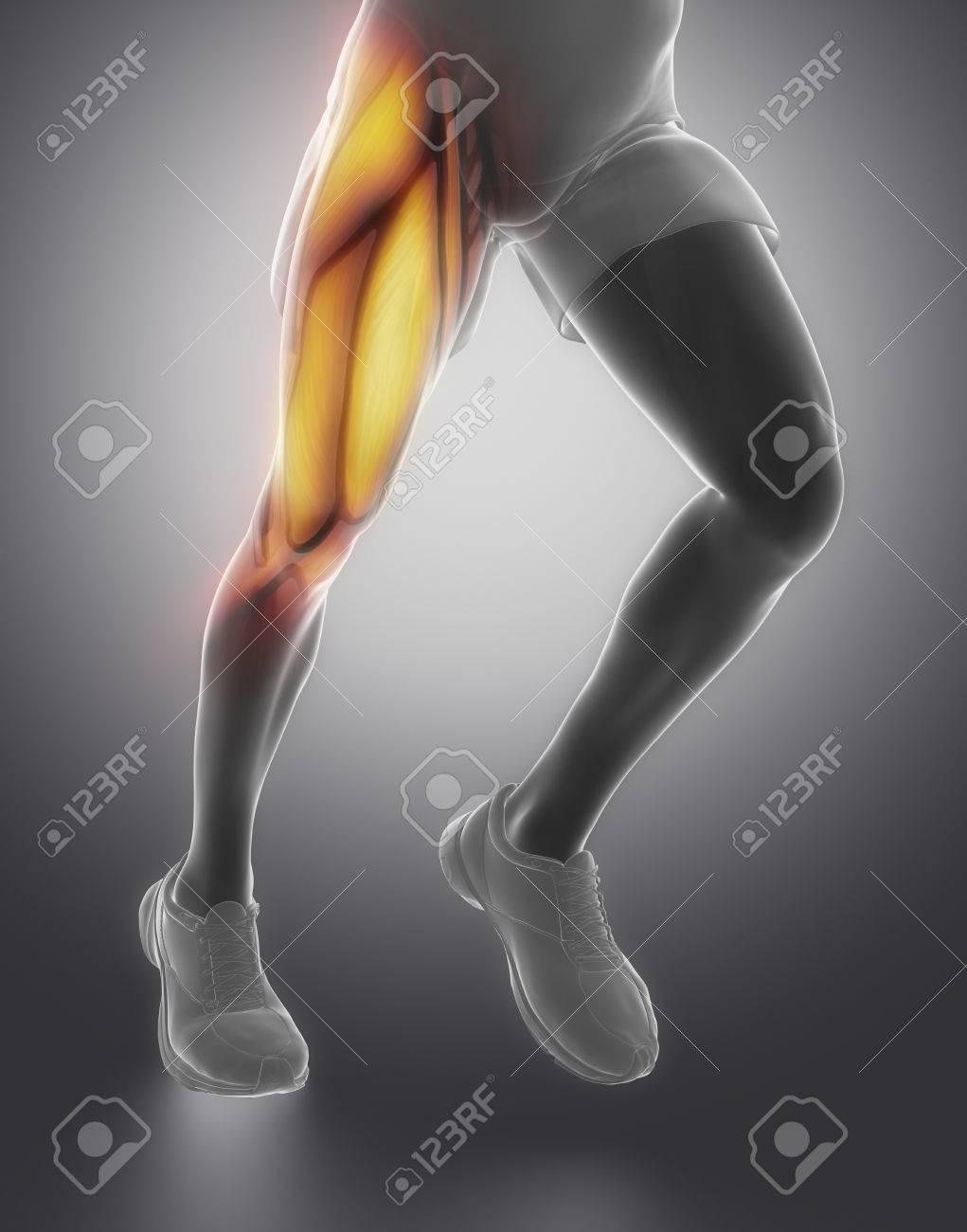 La Anatomía Del Músculo Del Muslo Fotos, Retratos, Imágenes Y ...