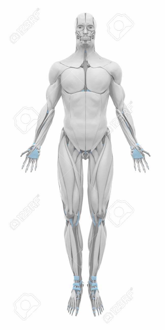 Schön Abs Anatomie Muskeln Fotos - Physiologie Von Menschlichen ...