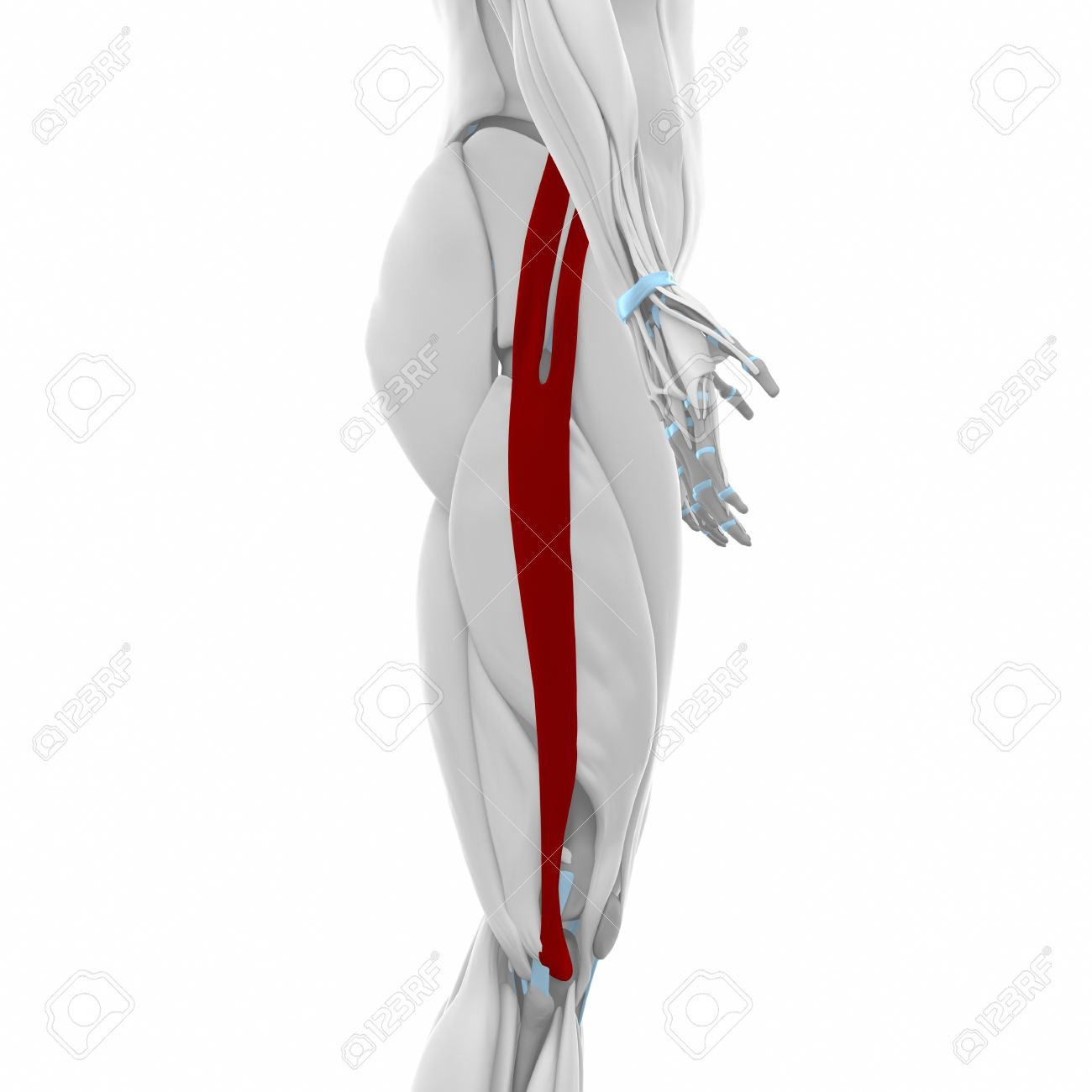 Iliotibial Tract - Muscles Anatomy Map Stock Photo, Picture And ...