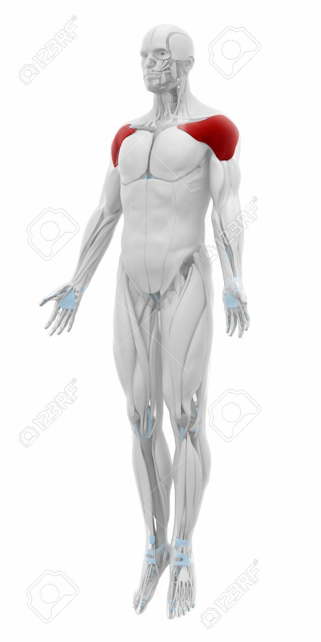 Deltoid Muscles Anatomy Map Stock Photo Picture And Royalty Free