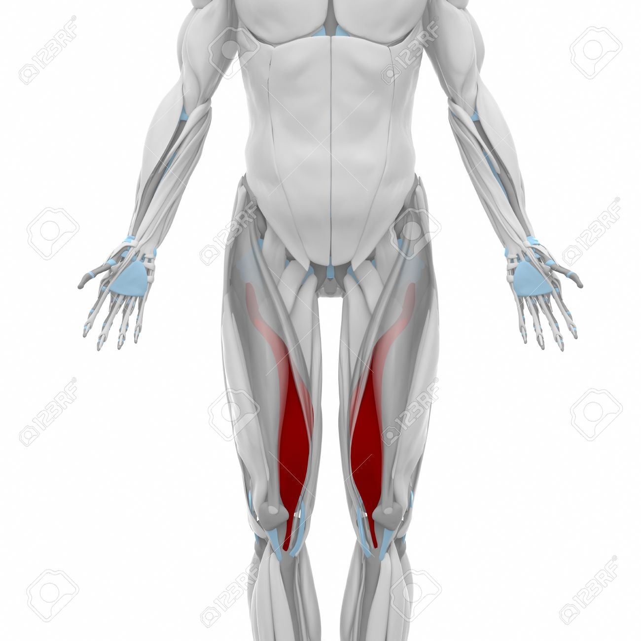 Vastus Medialis - Muscles Anatomy Map Stock Photo, Picture And ...