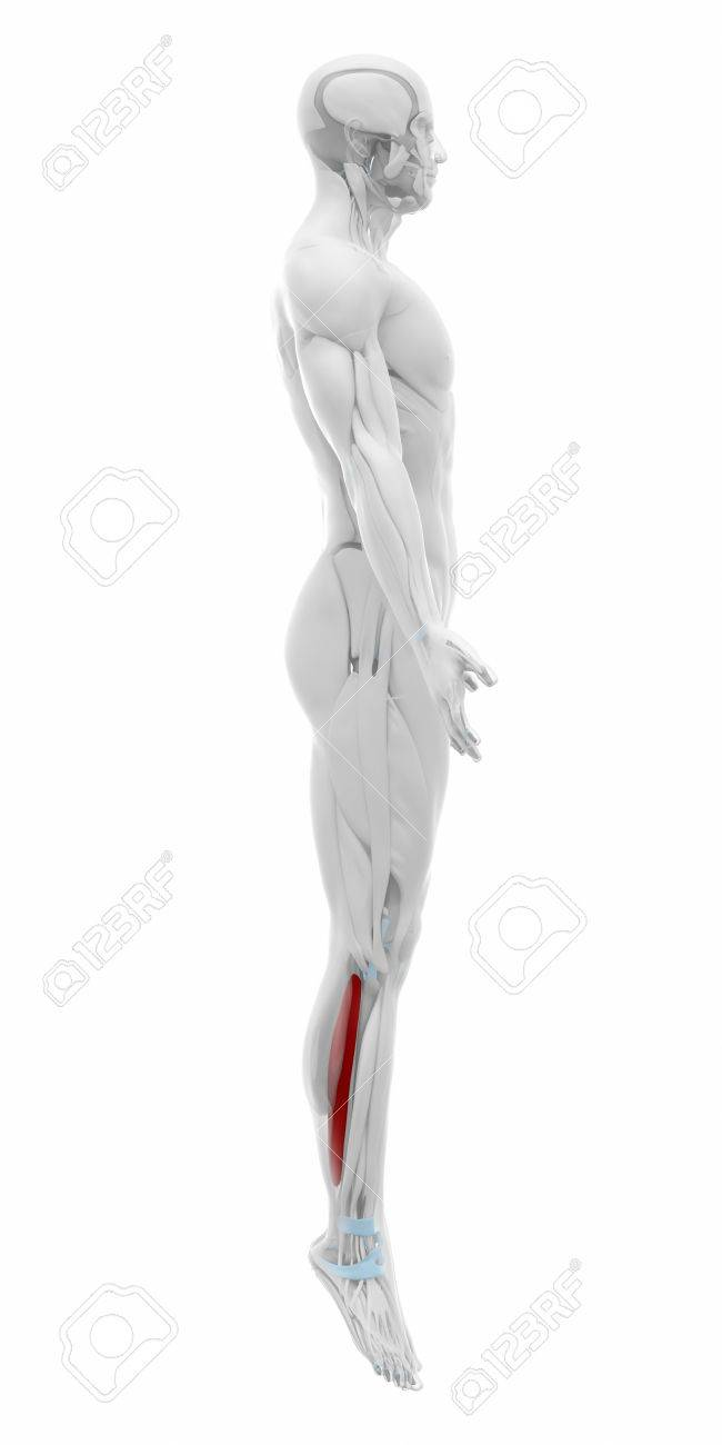 Soleus - Muscles Anatomy Map Stock Photo, Picture And Royalty Free ...