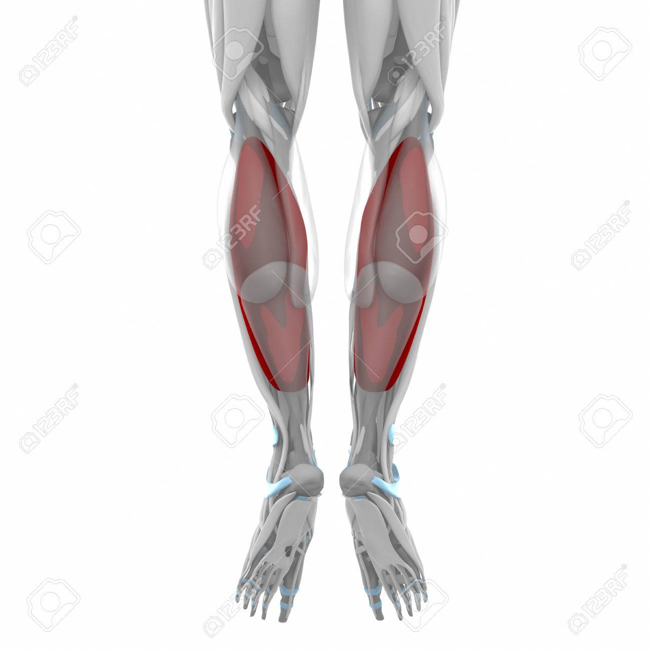 Soleus Muscles Anatomy Map Stock Photo Picture And Royalty Free