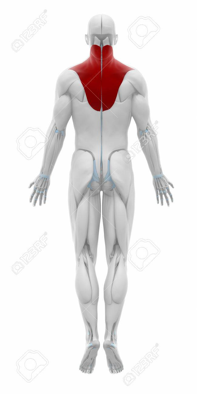 Trapezius Muscles Anatomy Map Stock Photo Picture And Royalty