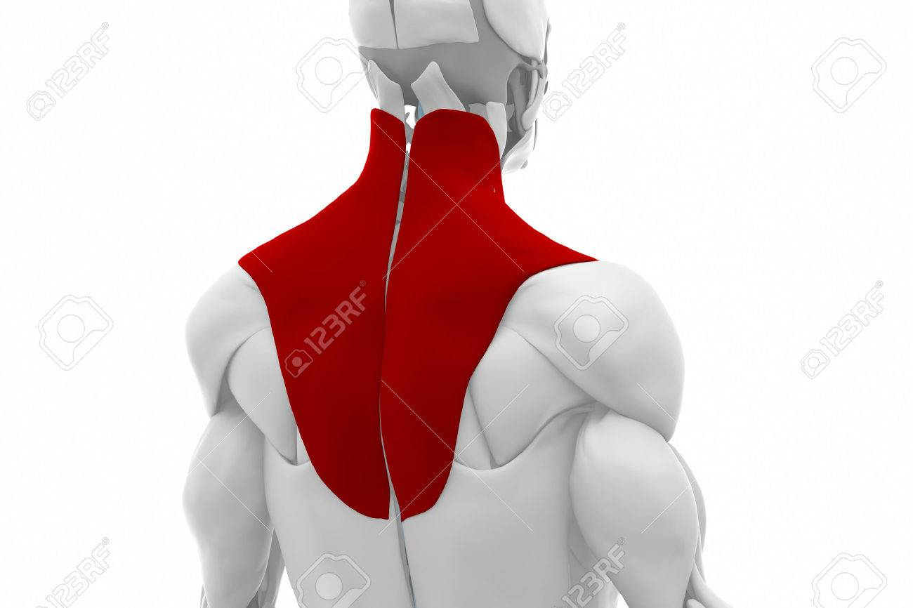Trapezius - Muscles Anatomy Map Stock Photo, Picture And Royalty ...