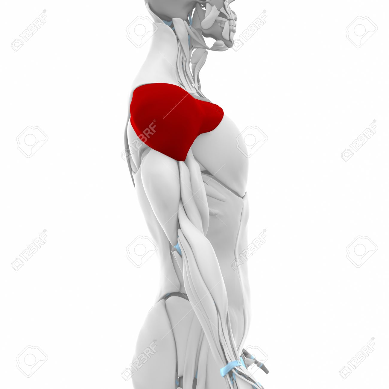 Deltoid - Muscles Anatomy Map Stock Photo, Picture And Royalty Free ...