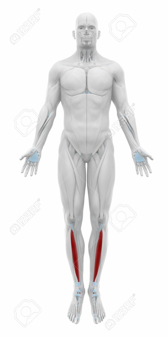 Tibialis Anterior - Muscles Anatomy Map Stock Photo, Picture And ...