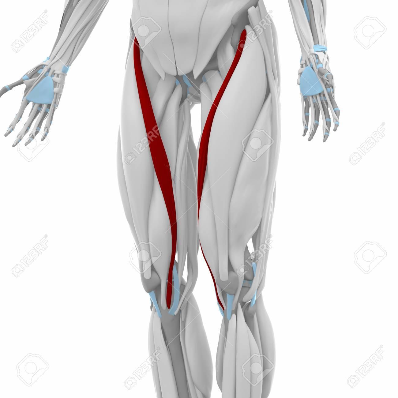 Niedlich Sartorius Muskelanatomie Fotos - Anatomie Ideen - finotti.info