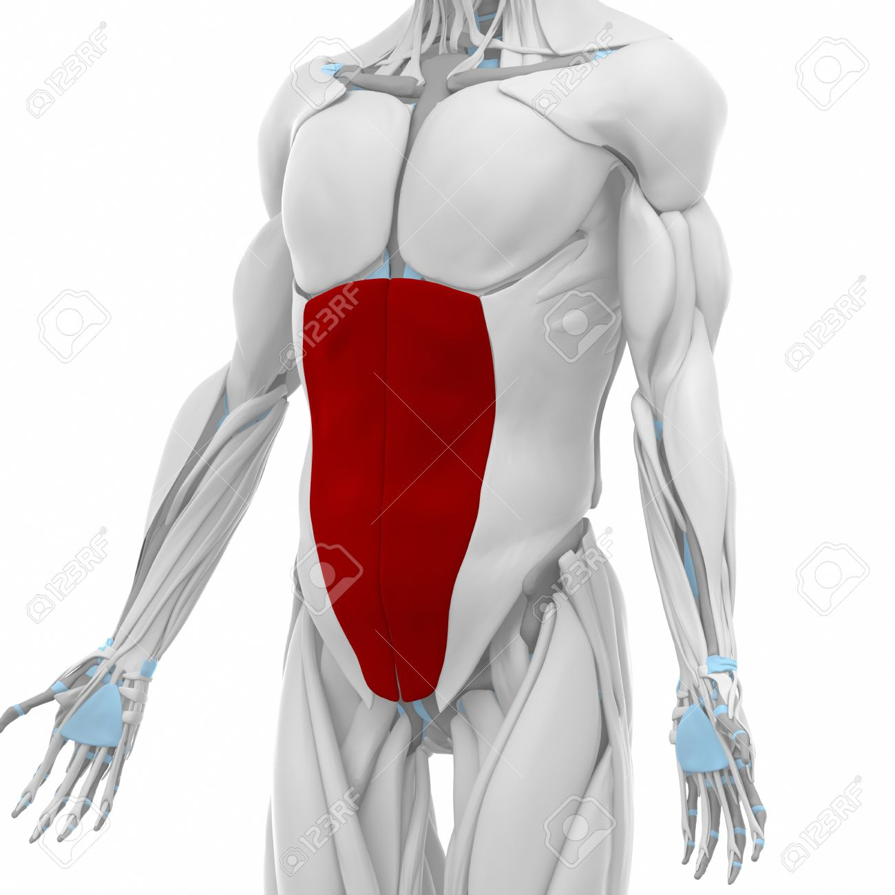 External Abdominal Oblique Muscles Anatomy Map Stock Photo