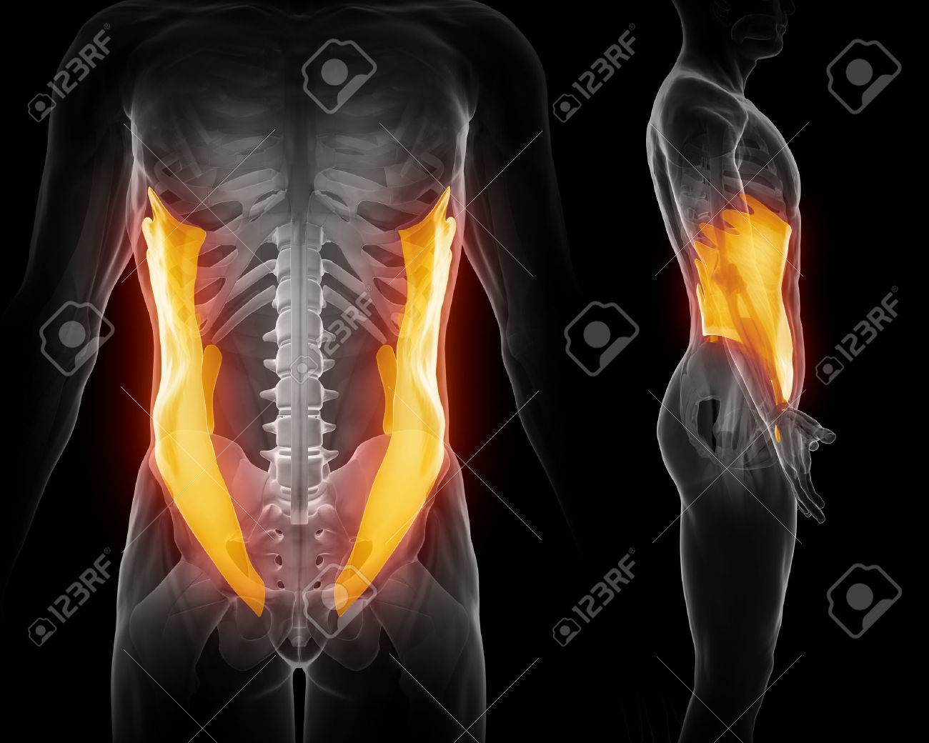 External Abdominal Oblique Stock Photo Picture And Royalty Free