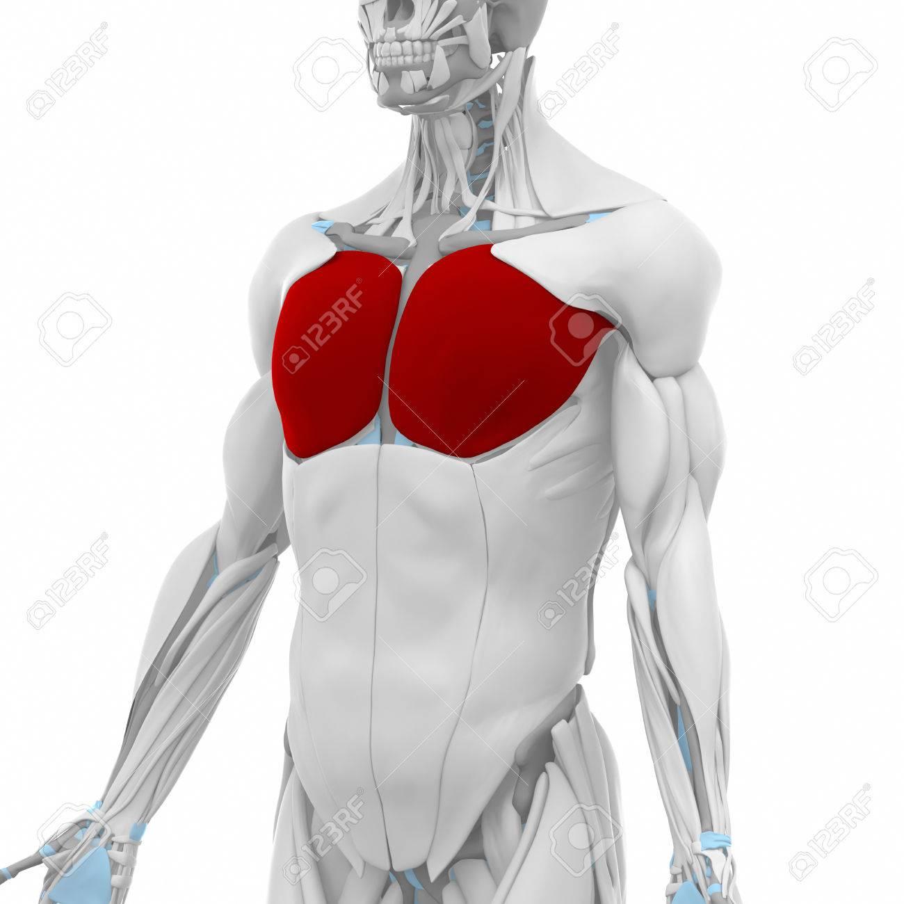 Pectoral Mayor - Músculos Mapa Anatomía Fotos, Retratos, Imágenes Y ...