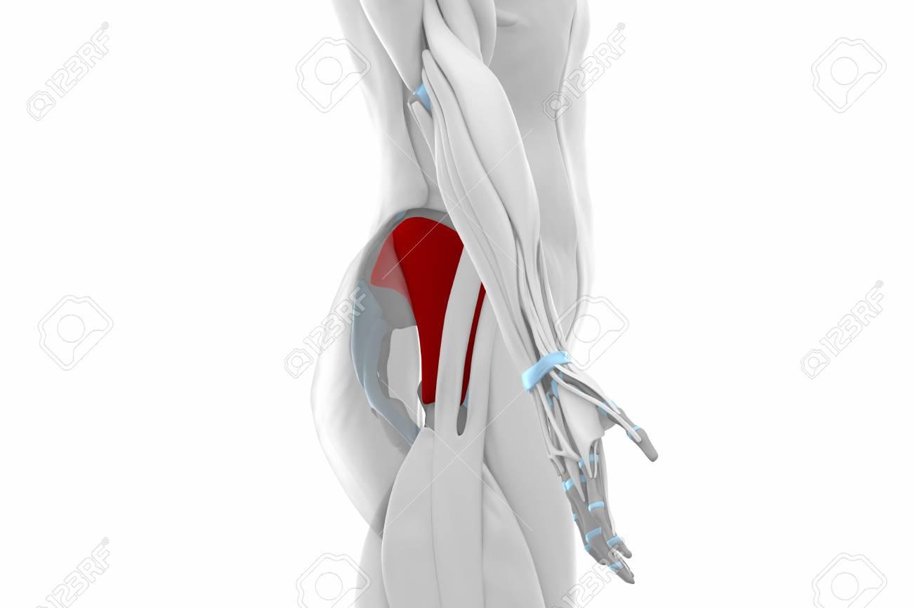 Glúteos Minimus- Músculos Mapa Anatomía Fotos, Retratos, Imágenes Y ...