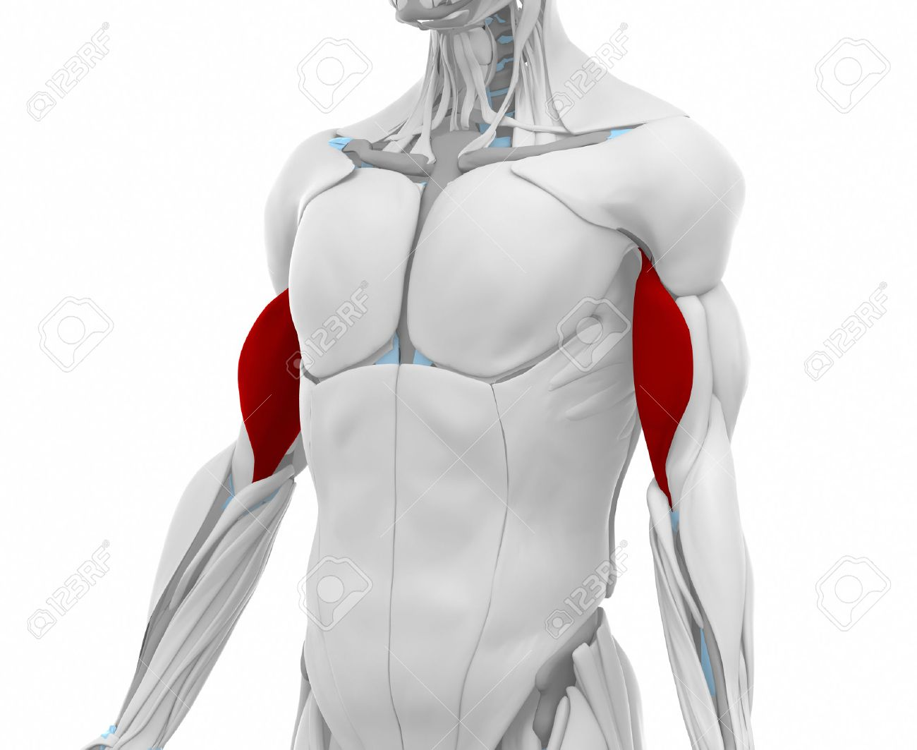 Biceps Brachii - Muscles Anatomy Map Stock Photo, Picture And ...