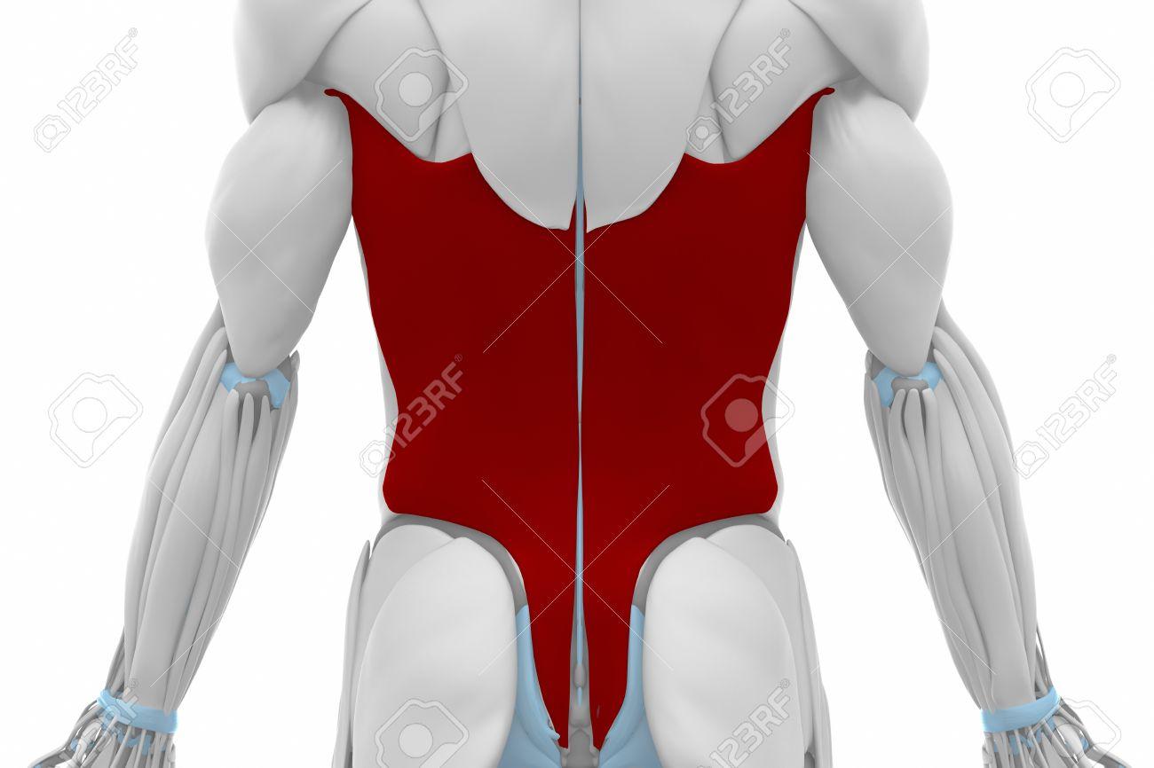 Dorsal Ancho - Músculos Mapa Anatomía Fotos, Retratos, Imágenes Y ...