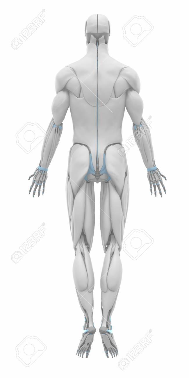 Fantastisch Muskelanatomie Flash Karten Ideen - Anatomie Ideen ...