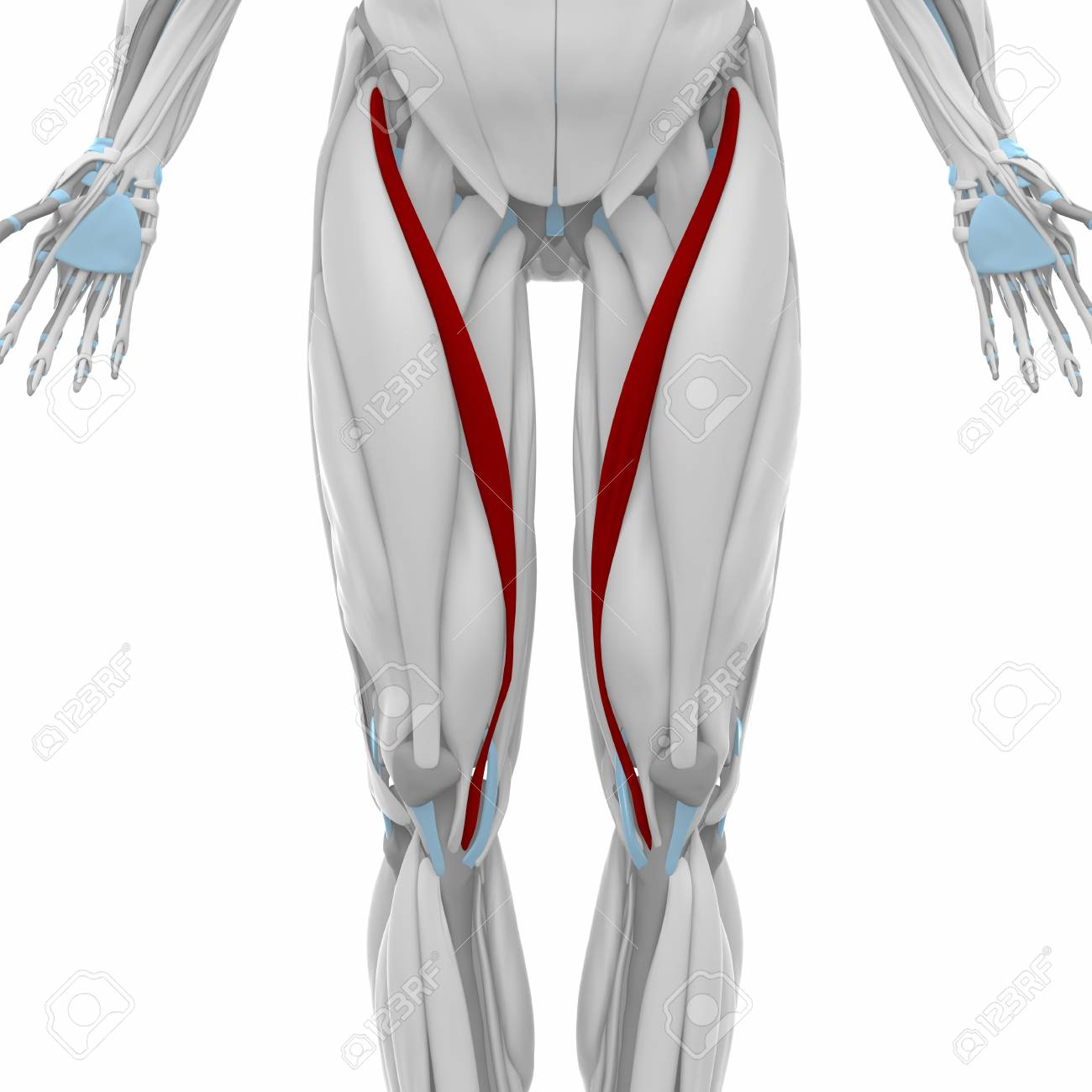 Sartorius - Muscles Anatomy Map Stock Photo, Picture And Royalty ...