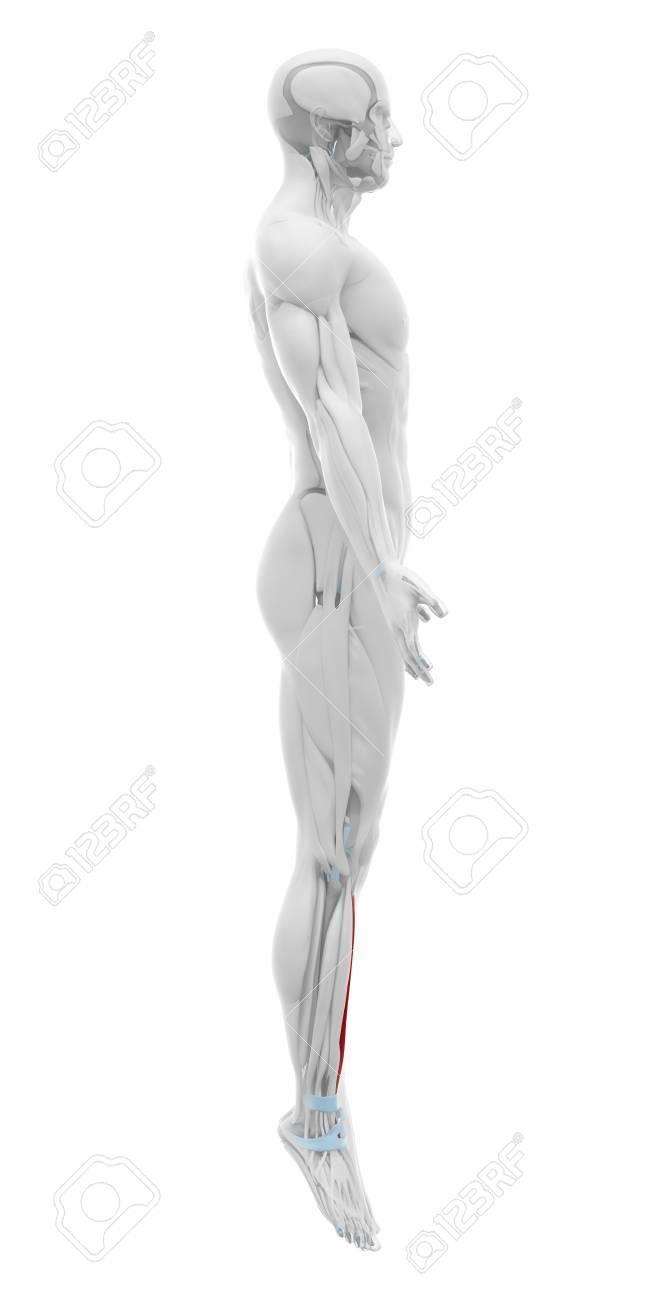 Los Músculos Tibial Anterior - Mapa De La Anatomía Fotos, Retratos ...