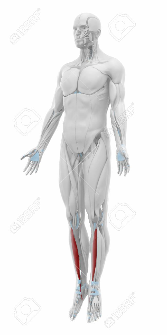 Tibialis Anterior Muscles Anatomy Map Stock Photo Picture And