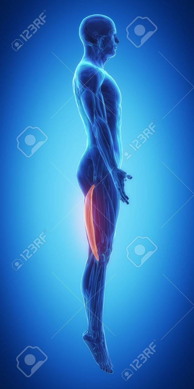 Bicep Femoris Muscle Anatomy Stock Photo, Picture And Royalty Free ...