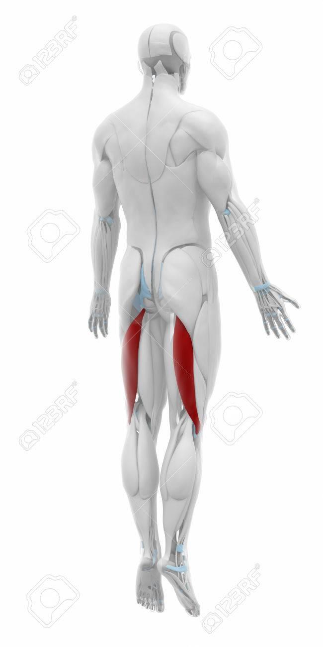 Bíceps Femoral - Músculos Mapa Anatomía Fotos, Retratos, Imágenes Y ...