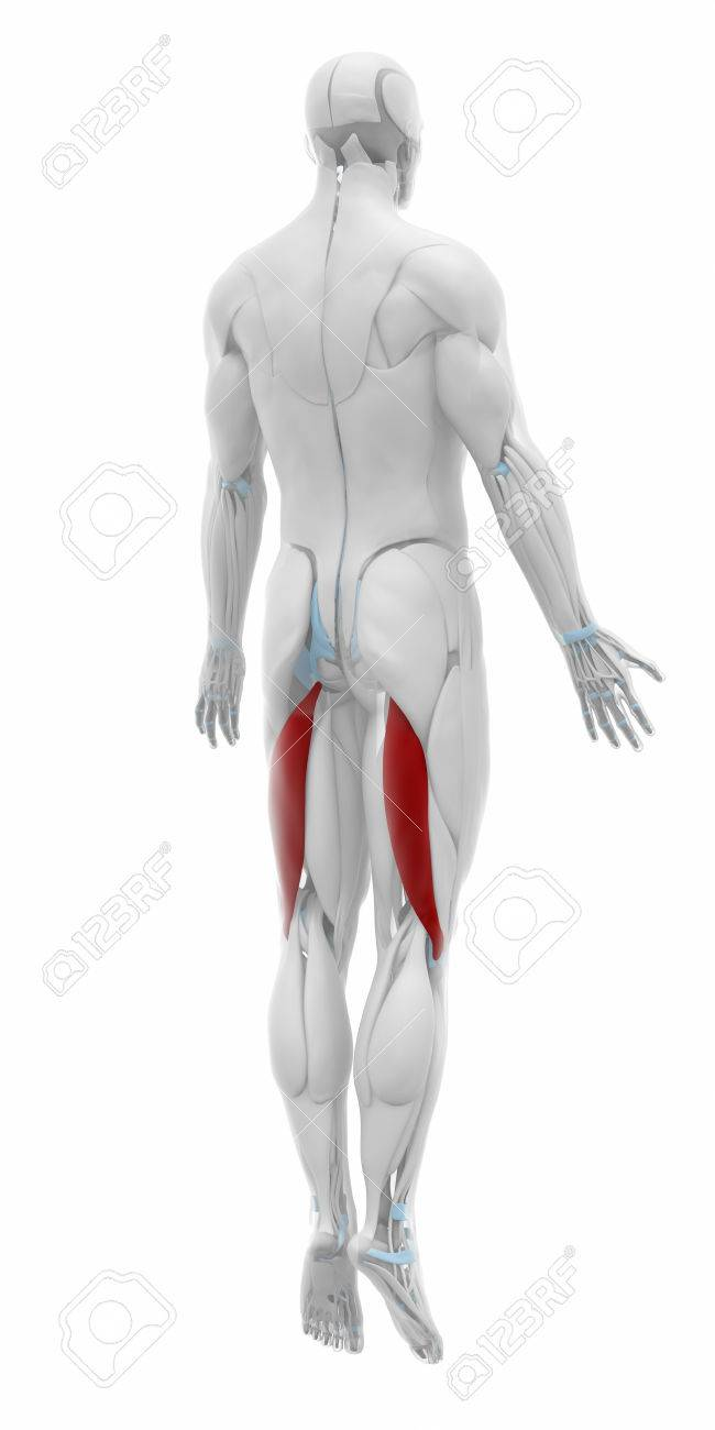 Biceps Femoris - Muscles Anatomy Map Stock Photo, Picture And ...