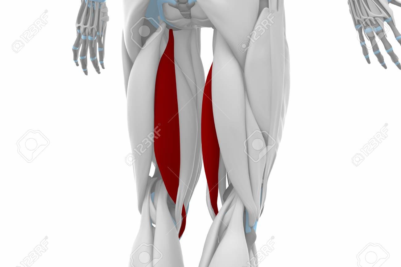 Semitendinosus - Muscles Anatomy Map Stock Photo, Picture And ...