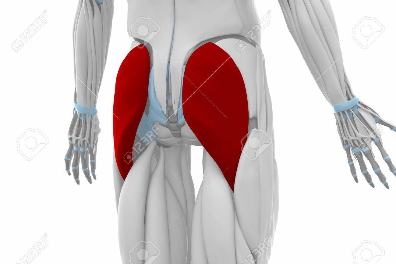 Glúteo Mayor - Músculos Mapa Anatomía Fotos, Retratos, Imágenes Y ...