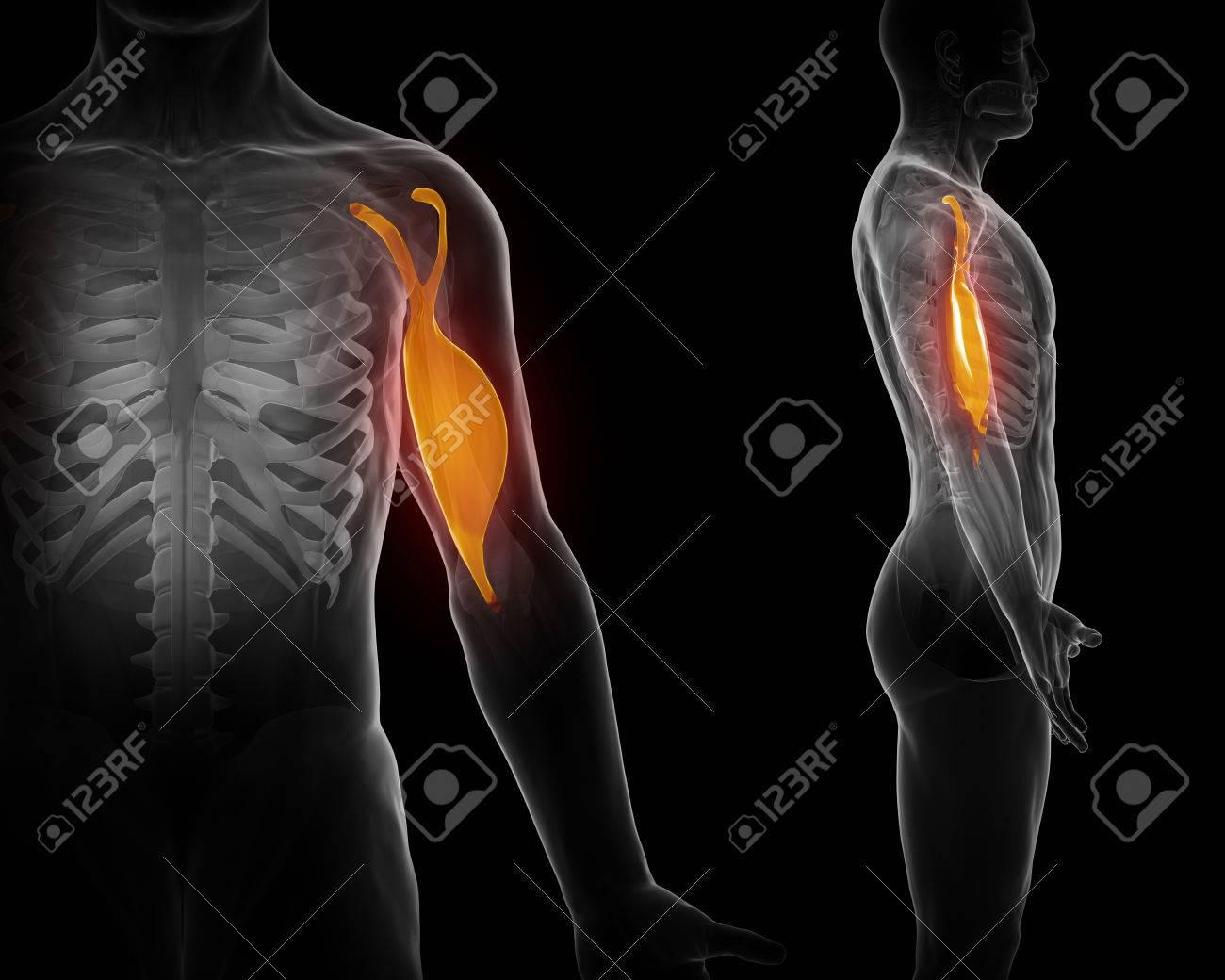 Biceps brachii - 47042269