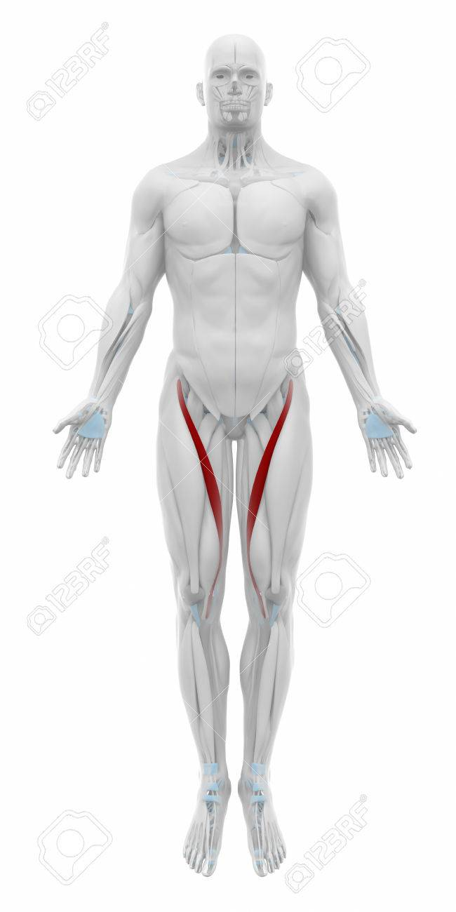 Sartorius Muscles Anatomy Map Stock Photo Picture And Royalty