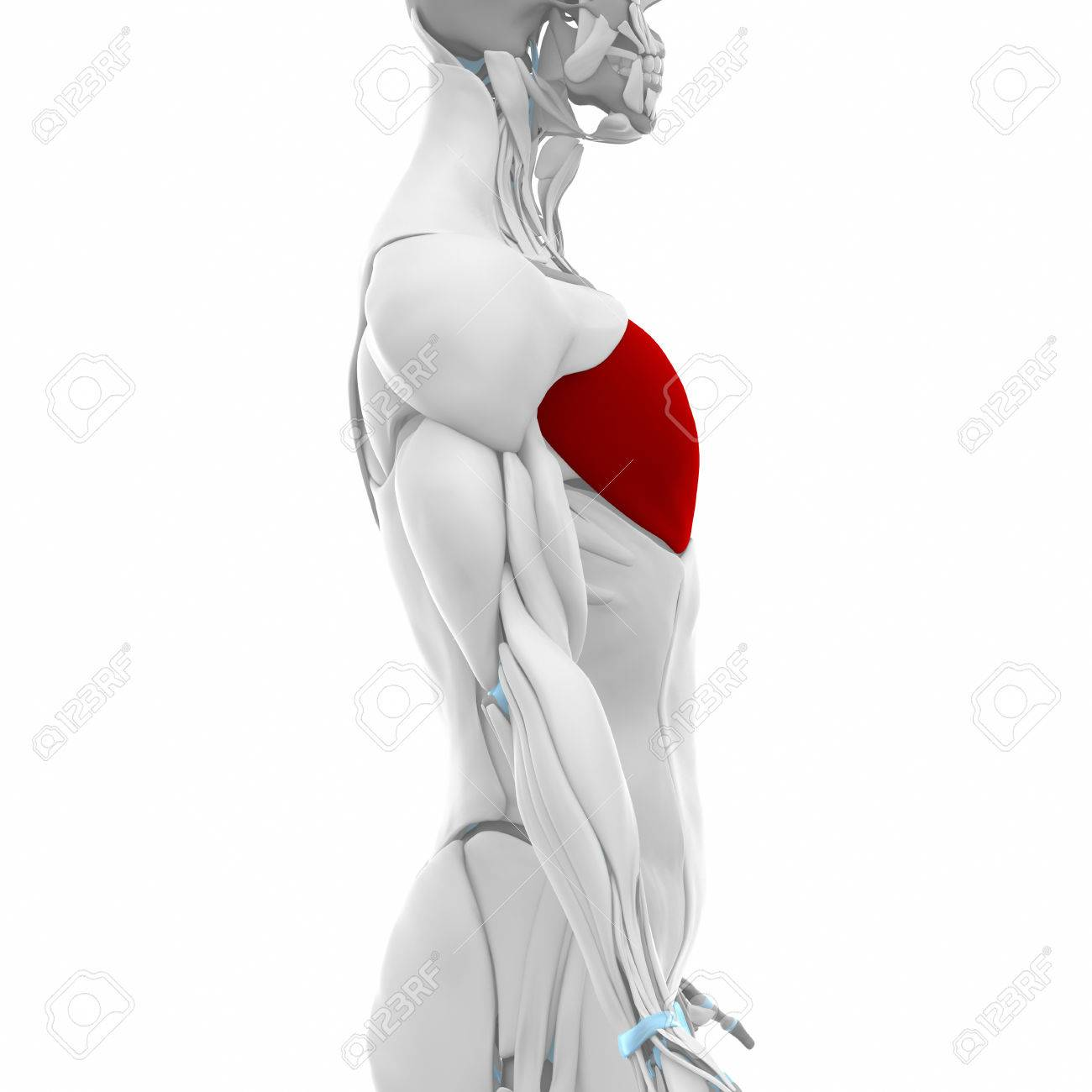 Pectoralis Major - Muscles Anatomy Map Stock Photo, Picture And ...