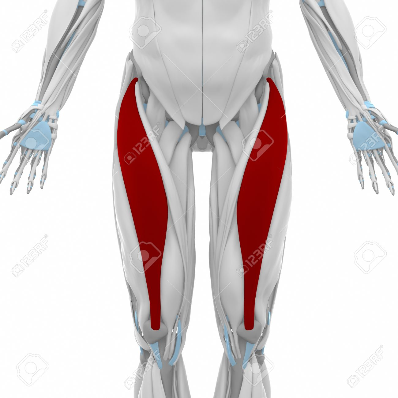 Rectus Femoris - Muscles Anatomy Map Stock Photo, Picture And ...