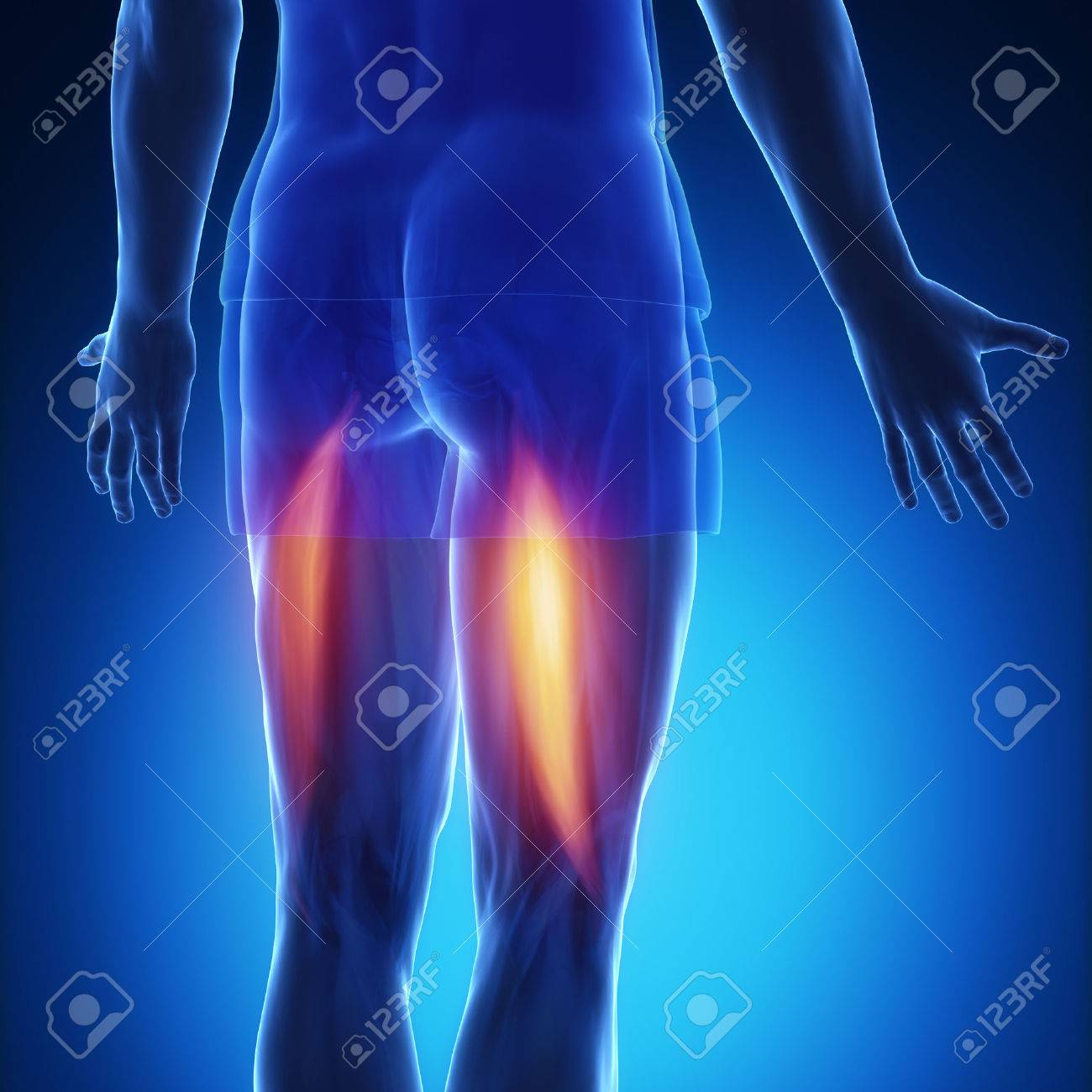 Bicep Femoris Muscle Anatomy Stock Photo Picture And Royalty Free