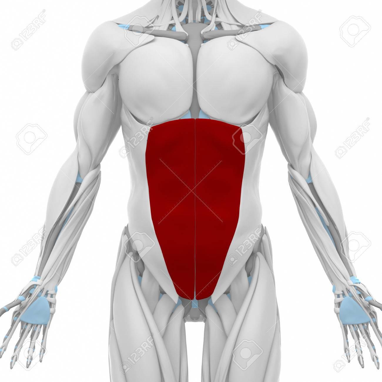 Externe Schrägen Bauch - Muskeln Anatomie Karte Lizenzfreie Fotos ...