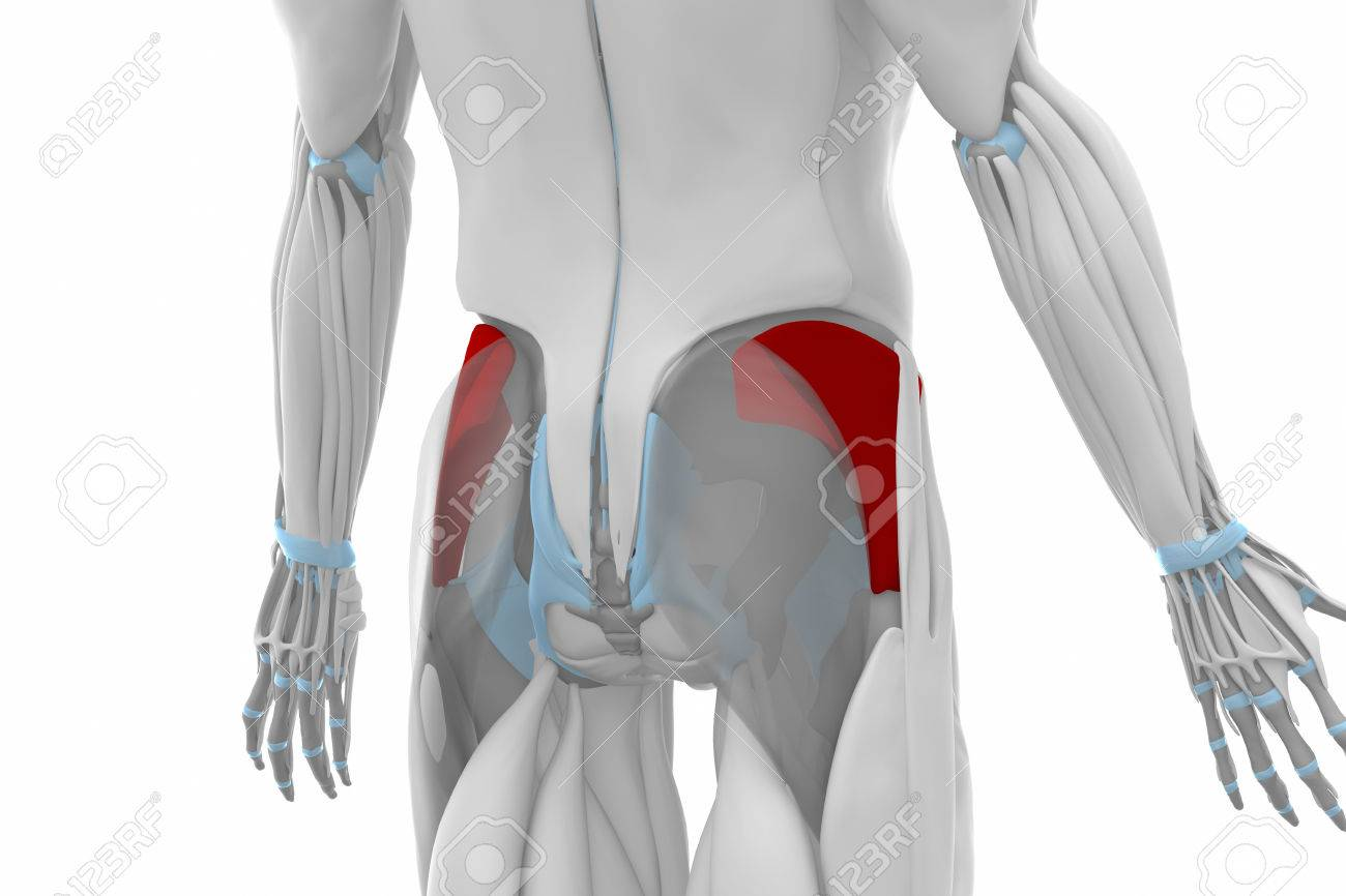 Gluteus Minimus Muscles Anatomy Map Stock Photo Picture And
