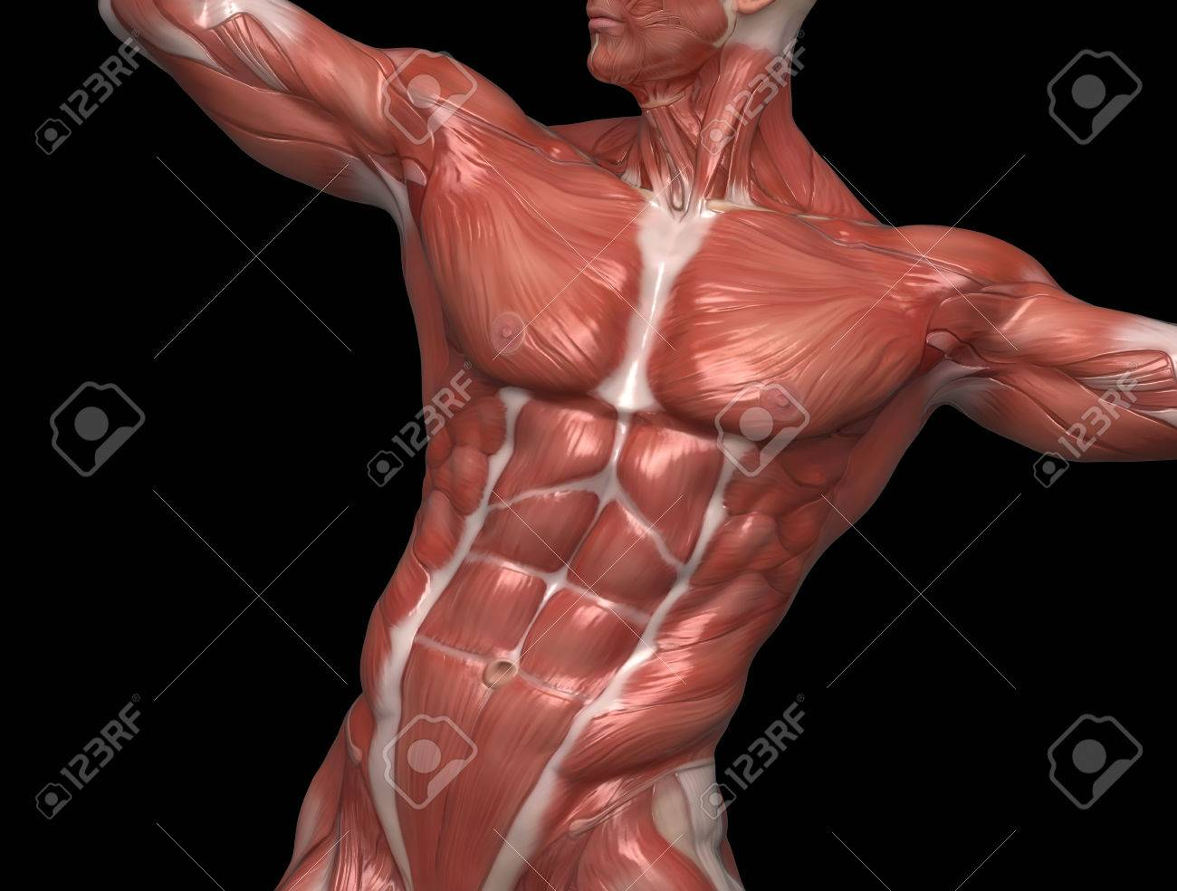 Man Muscular Anatomy In Bodybuilder Pose Stock Photo Picture And