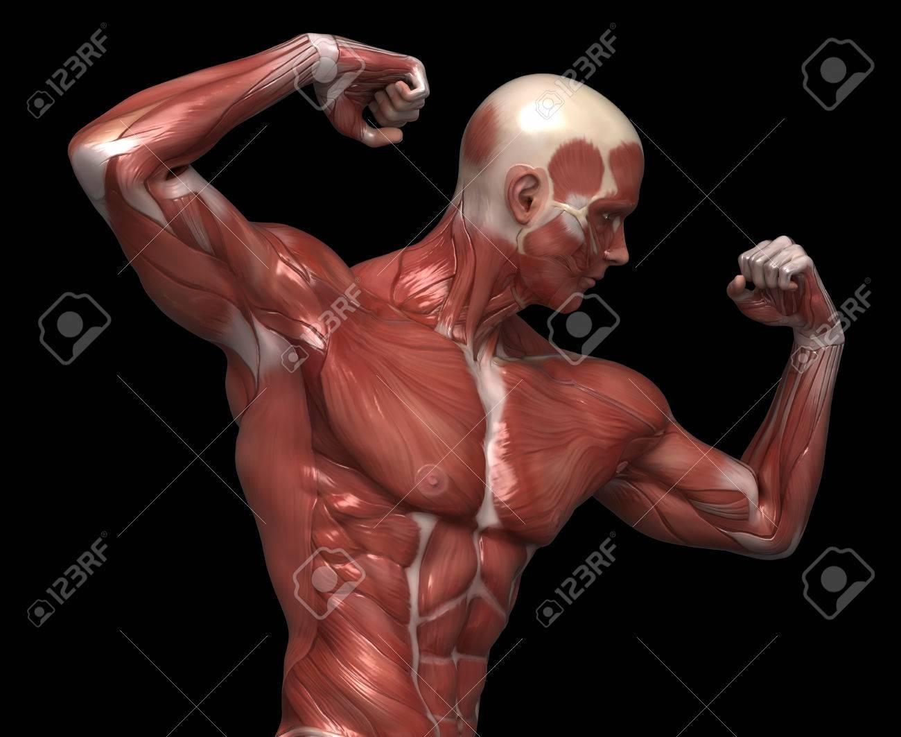 Anatomía Muscular Hombre En Pose Culturista Fotos, Retratos ...