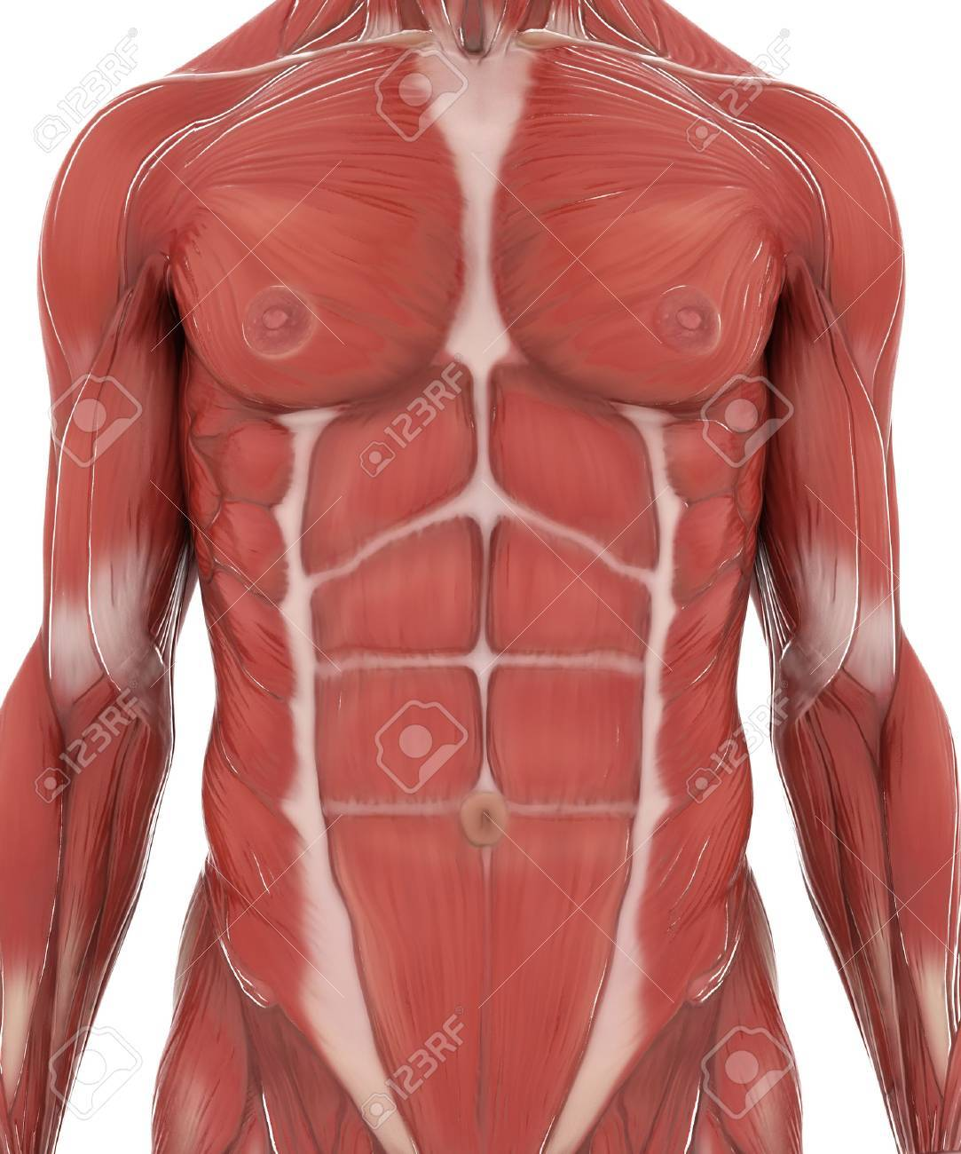 Anatomy Muscle Map On White Isolated Stock Photo, Picture And ...