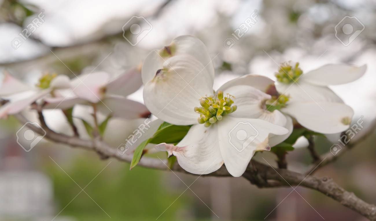 White dogwood flowers with a blurred background in spring time stock stock photo white dogwood flowers with a blurred background in spring time mightylinksfo