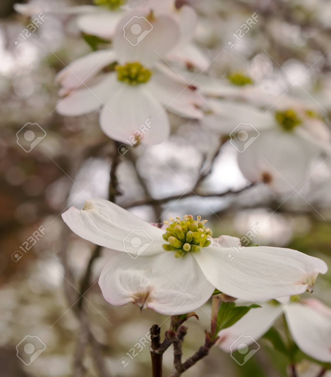 White Dogwood Flowers With A Blurred Background In Spring Time Stock