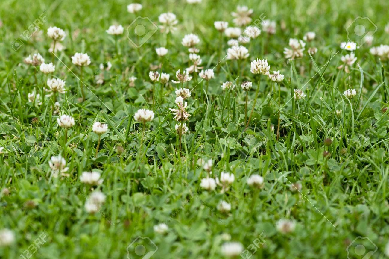 Netter Grüner Hintergrund Mit Blühenden Klee, Kleine Weiße Blüte, Unkraut  In Rasen Standard